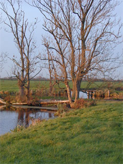 Essenhout in de Polder